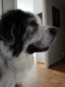 Pyrenean Mastiff Dog Breed Information All You Need To Know