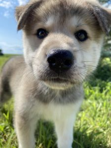 Pyrenees Husky Dog Breed Information All You Need To Know