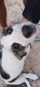 Rafeiro Do Alentejo Dog Breed Information All You Need To Know