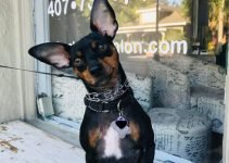 Rat Pinscher Dog Breed Information – All You Need To Know