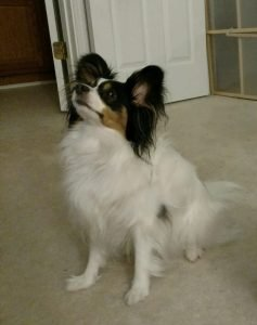 Pugillon Dog Breed Information All You Need To Know