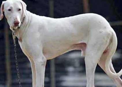 Rajapalayam Dog Breed Information All You Need To Know