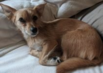 Ratshire Terrier Dog Breed Information – All You Need To Know