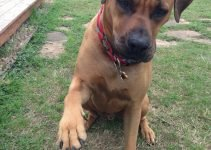 Rhodesian Bernard Dog Breed Information – All You Need To Know