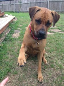Rhodesian Boxer Dog Breed Information All You Need To Know