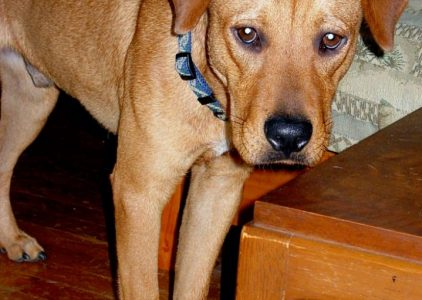 Rhodesian Labrador Dog Breed Information All You Need To Know