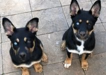 Rottsky Dog Breed Information – All You Need To Know