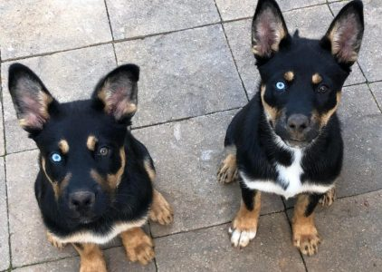 Rottsky Dog Breed Information All You Need To Know