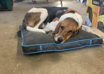 Running Walker Foxhound Dog Breed Information – All You Need To Know