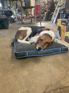 Running Walker Foxhound Dog Breed Information All You Need To Know