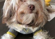 Russian Tsvetnaya Bolonka Dog Breed Information – All You Need To Know