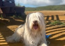 Sapsali Dog Breed Information – All You Need To Know